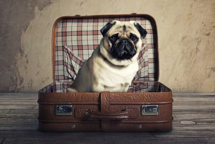 Mops im Reisekoffer