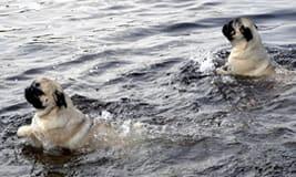 Mops-beim-Schwimmen-klein