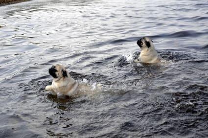 Möpse beim Schwimmen