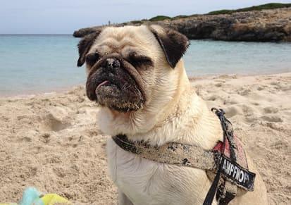 Mops-im-Urlaub-am-Strand