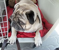 Mops-in-Transportbox