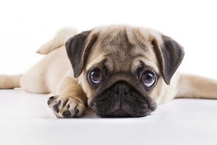 10 Wahrheiten über Den Mops Hund Zum Abschrecken Oder Lachen