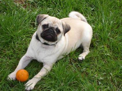 Mops-spielt-mit-Ball