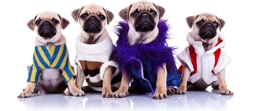 Mops Hundekleidung – Sinn oder Unsinn