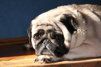 Alter Mops – Pflegetipps für ältere Hunde