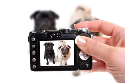 Einen Mops fotografieren und tolle Hundebilder machen