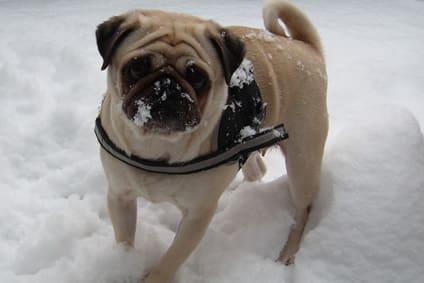 Mops im Winter – Wetterfest Gassi gehen