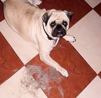 Mops Haare – Entfernen und damit leben